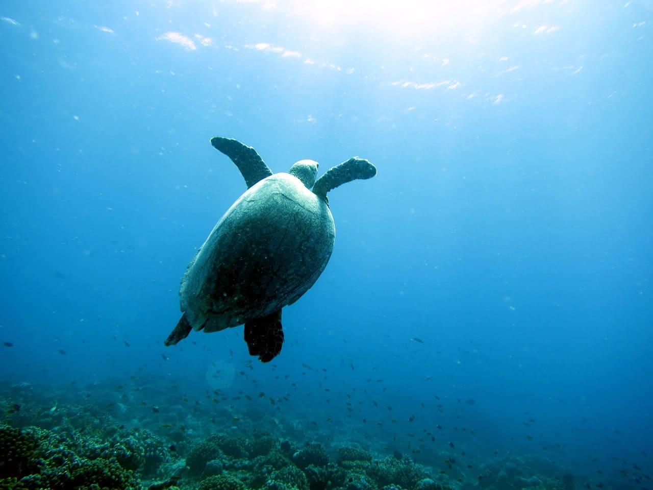 ダイバーの出逢ったウミガメ